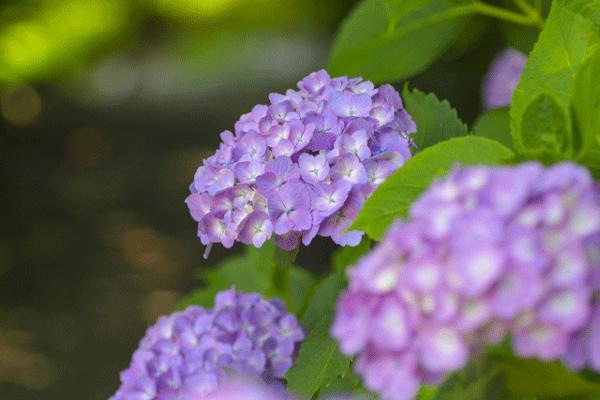 紫のあじさいが綺麗な写真