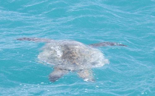 ウミガメの画像