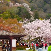 桜と山の画像