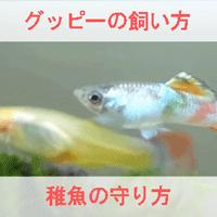 グッピーの飼い方と稚魚の育て方を説明する画像